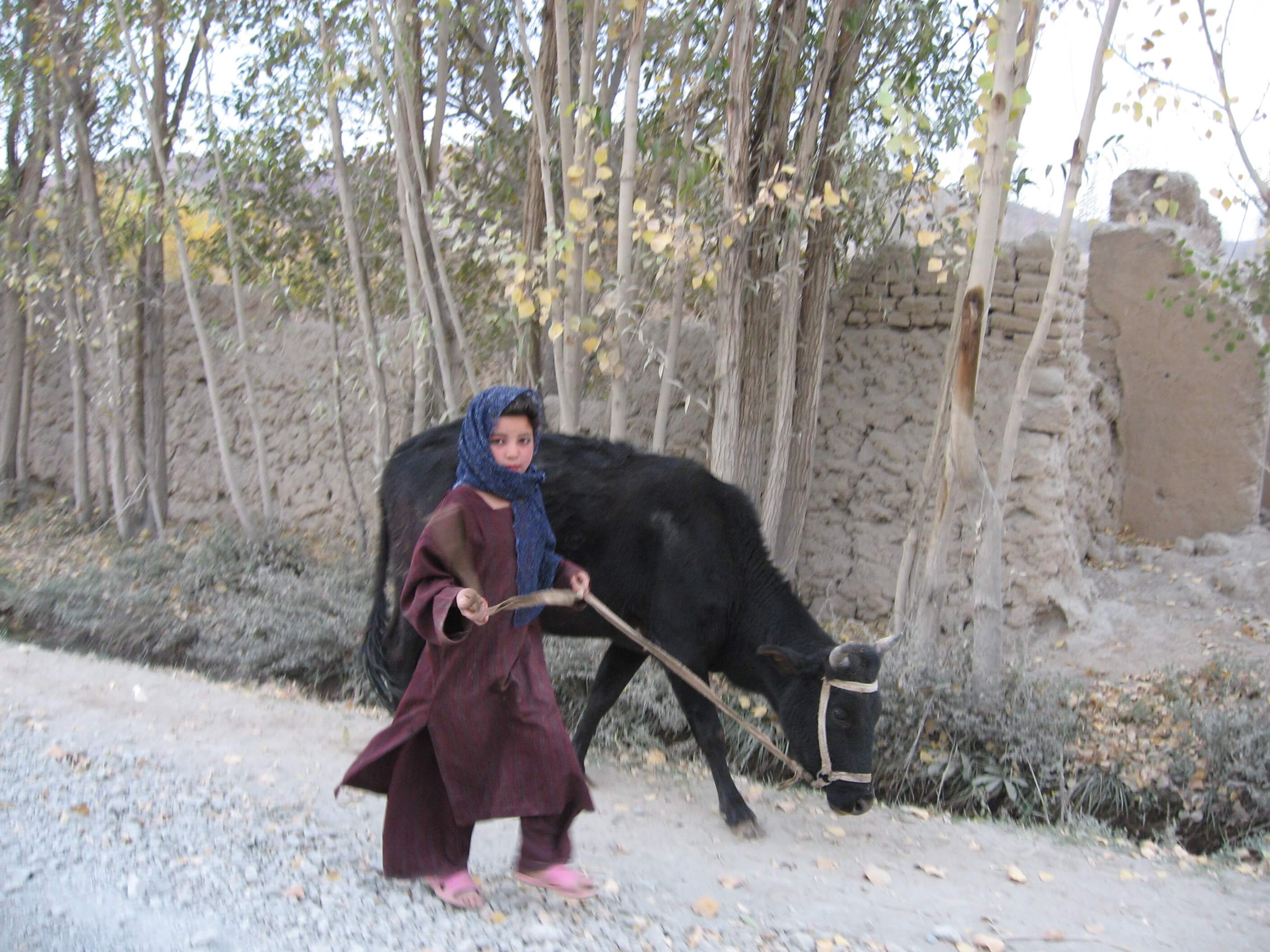 aland girl with cow